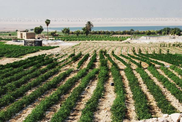 Campi coltivati vicino al Mar Morto