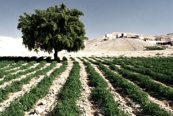 Mar Morto - campo coltivato