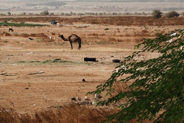 Dromedario in Giordania