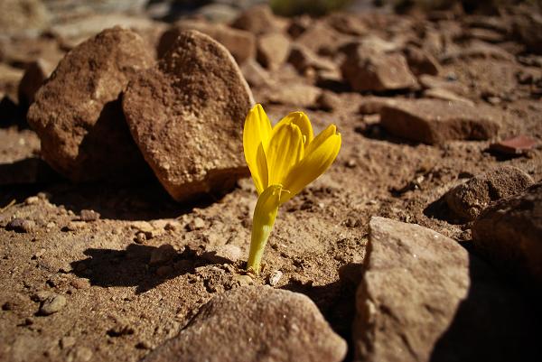 Petra, fiore