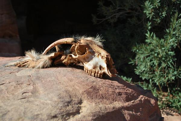 Petra, un teschio di capra